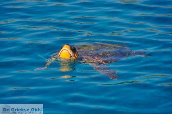 Caretta Carteaa Zeeschildpad